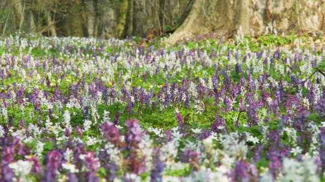 hd dolly: field of white and violete hyacinth - hyacinth stock videos & royalty-free footage