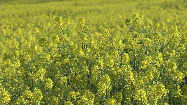 field of white mustard, hokkaido, japan - mustard stock videos and b-roll footage