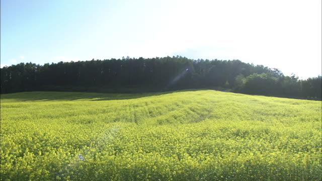 Field Of White Mustard, Hokkaido, Japan