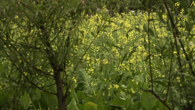 field of yellow flowers behind a hedge - vine stock videos & royalty-free footage