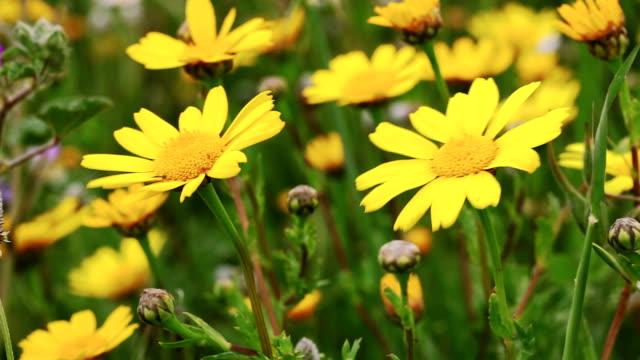 HD: Bereich der gelben Blüten.   Frühling Natur Hintergrund.