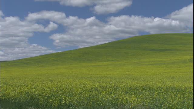 A field of yellow  wildflowers covers a hill in the countryside of Washington.