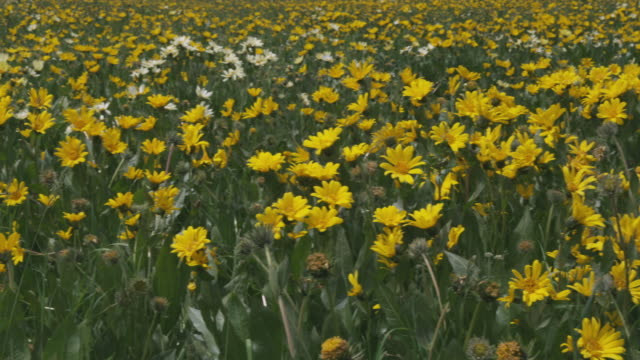 cu pan field of yellow wildflowers / yellowstone, wyoming, usa - wildflower stock videos & royalty-free footage
