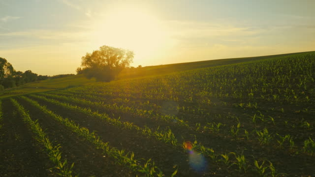 AERIAL Field of young corn plants at sunset