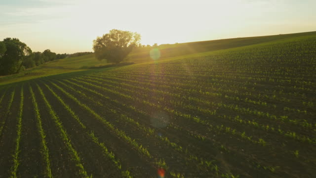 aerial field of young corn plants at sunset - seedling stock videos & royalty-free footage