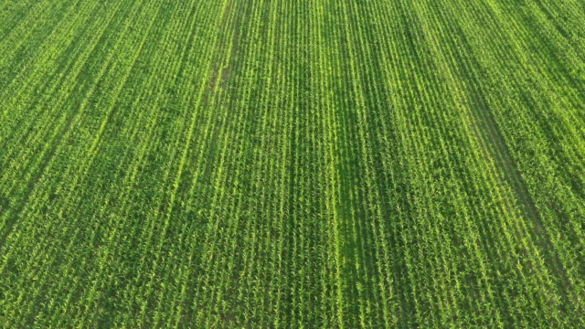 AERIAL Field of young corn plants