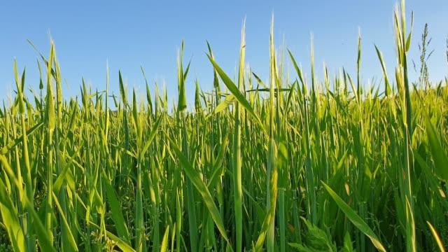 stockvideo's en b-roll-footage met gebied van jonge tarwe in het voorjaar - genomen met mobiel apparaat