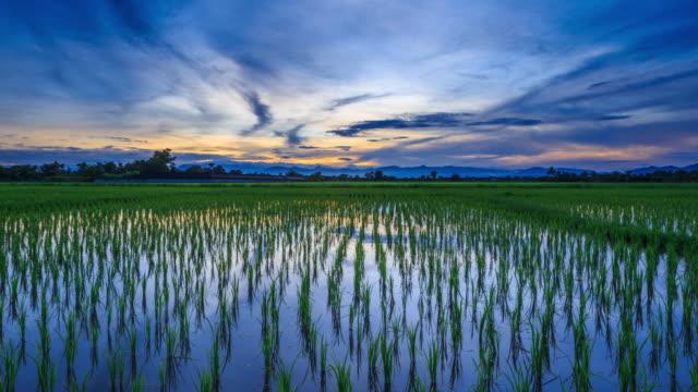 Champ de riz et magnifique lever le matin : 4 K effet Time-Lapse.