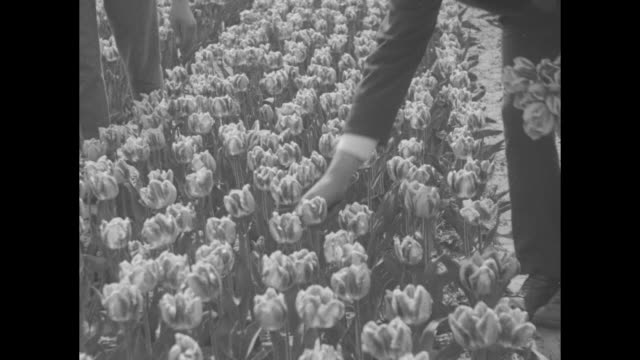 field with a vast amount of blooming tulips / a man walks on a row between the plants and workers pull the flowers; a little girl in native dress... - minority groups stock videos & royalty-free footage