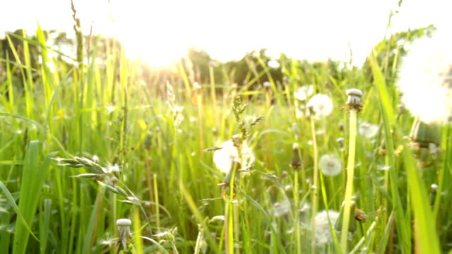 Field with Dandelions - shallow DOF