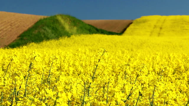 field with yellow rapeseed flowers - crucifers stock videos & royalty-free footage
