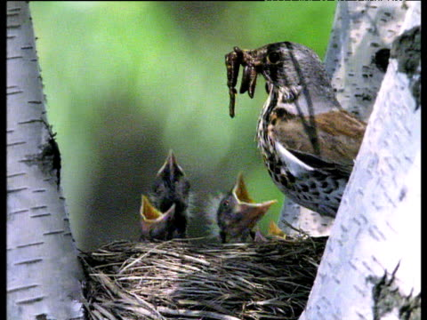 fieldfare arrives at nest in tree and feeds chicks worms, sweden - jungvogel stock-videos und b-roll-filmmaterial