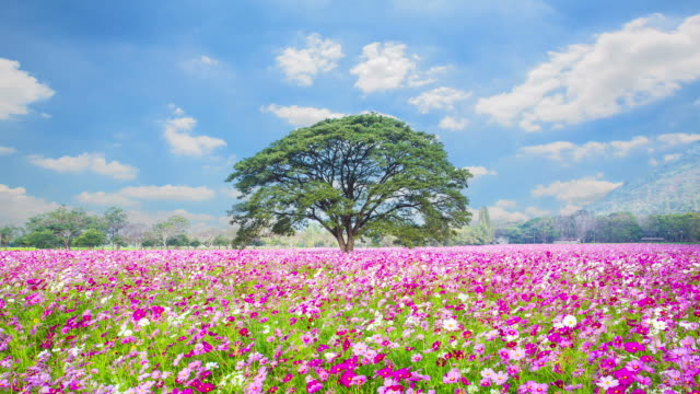 Champs de fleurs de Cosmos rose de Nakhon Ratchasima, en Thaïlande.