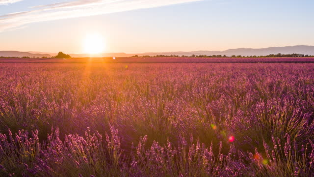 fields of lavender at sunset - lavender stock videos & royalty-free footage