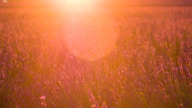 Champs de lavande au coucher du soleil