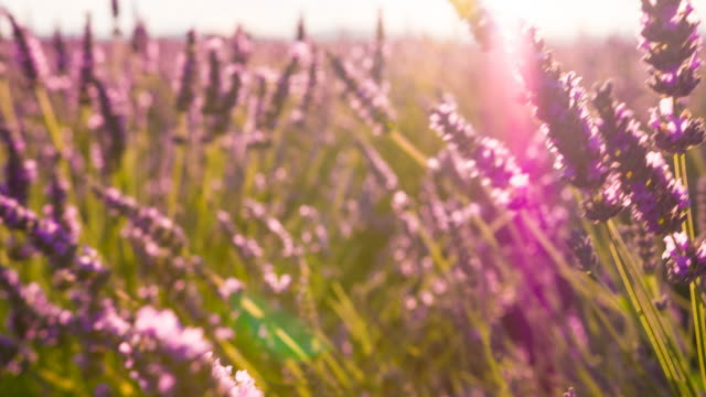 fields of lavender dancing in the wind - lavender stock videos & royalty-free footage