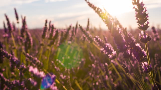 fields of lavender dancing in the wind - landscaped stock videos & royalty-free footage