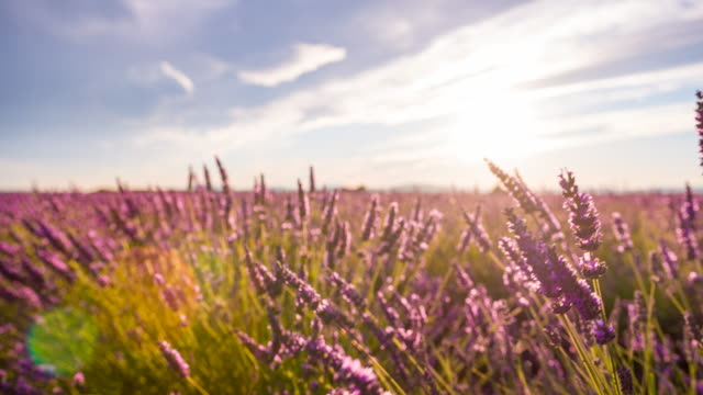 Velden van lavendel in de zomer