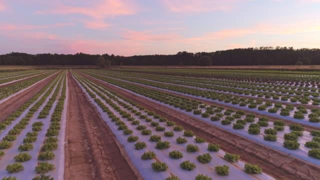 vídeos de stock, filmes e b-roll de campos aéreos de plantas de alface ao entardecer - processo vegetal