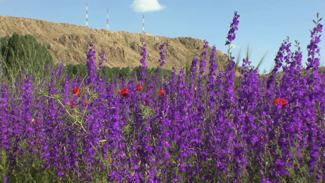 vidéos et rushes de ms fields of lupines and poppies blossoming in spring, atlas mountains, morocco - maroc