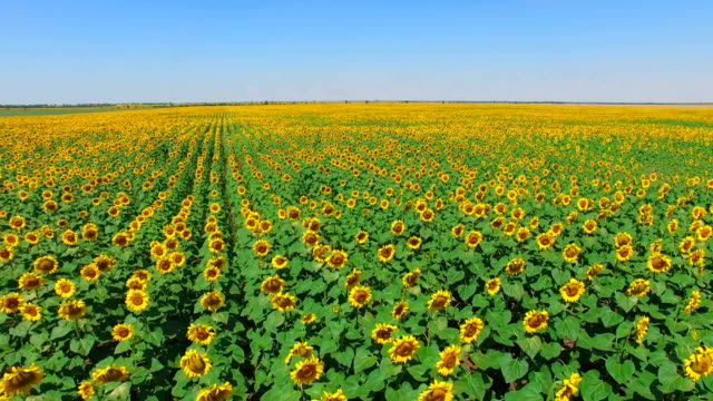 Fields of sunflowers, drone point of view