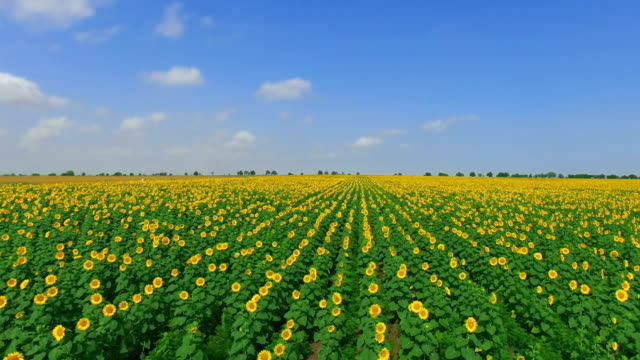 fields of sunflowers on blue sky background, aerial video - sunflower stock videos and b-roll footage