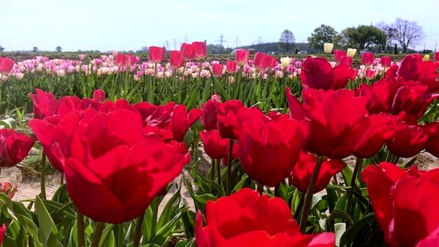fields of tulip flowers in france near jouyenjosas city - flower head stock videos & royalty-free footage