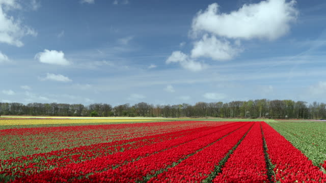 fields of tulips, lisse, south holland, netherlands, europe - olanda settentrionale video stock e b–roll