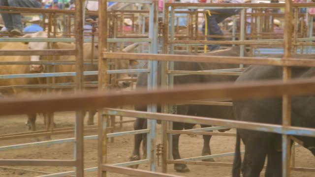 vídeos y material grabado en eventos de stock de fiercely looking bulls in an enclosed space - oficio agrícola