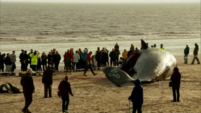 fifth sperm whale found dead on lincolnshire beach people crowded round whale carcass on beach as bystanders watch in f/g gvs dead whale on beach... - james whale stock-videos und b-roll-filmmaterial