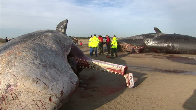 a fifth whale has washed up on britain's east coast close to where four others have been found since friday scientists are trying to work out what... - sperm whale stock videos & royalty-free footage