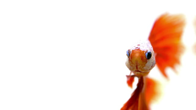 fighter fish on white background - siamese fighting fish stock videos and b-roll footage