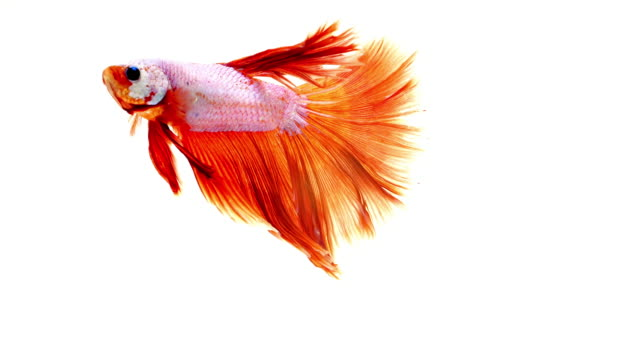 Fighter fish on white background