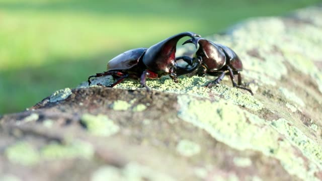 fighting action of male rhinoceros beetle in the breeding season - insect stock videos & royalty-free footage