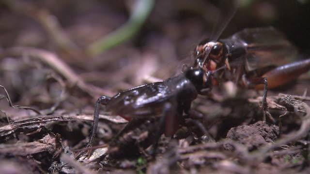 fighting crickets - grillo insetto video stock e b–roll