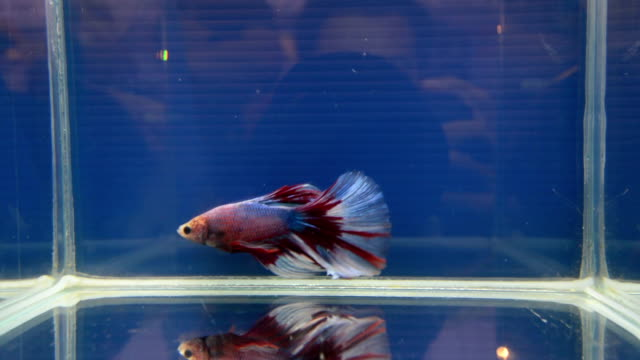 fighting fish  in a bowl