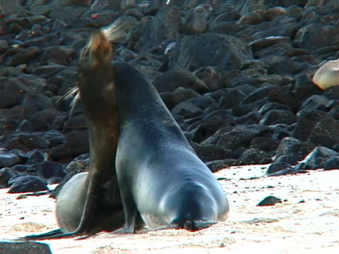 fighting Galapagos sea lions