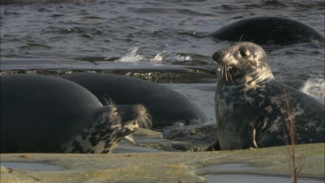 MS Fighting grey seals / Sweden