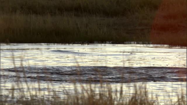 fighting hippos break the water's surface in botswana's okavango delta. available in hd. - オカバンゴデルタ点の映像素材/bロール