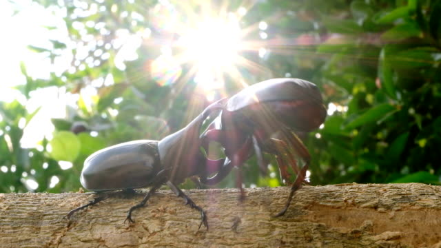fighting in nature: rhinoceros beetle fight on wood in tropical forest - fight stock videos & royalty-free footage