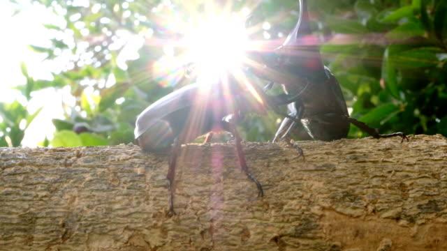vídeos y material grabado en eventos de stock de lucha en la naturaleza: escarabajo rinoceronte lucha en la madera en bosques tropicales - dynastinae