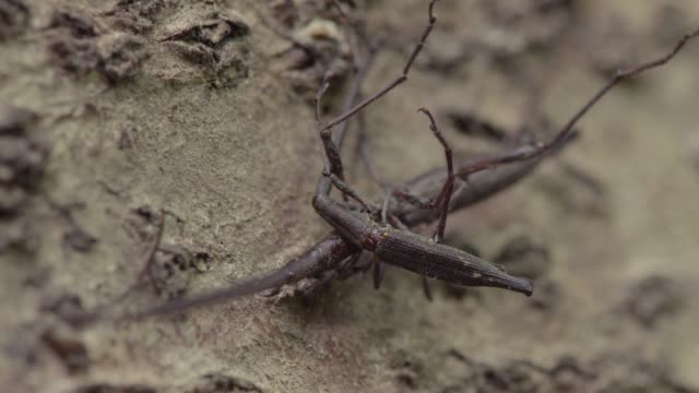 Fighting male giraffe weevils fall from tree, New Zealand