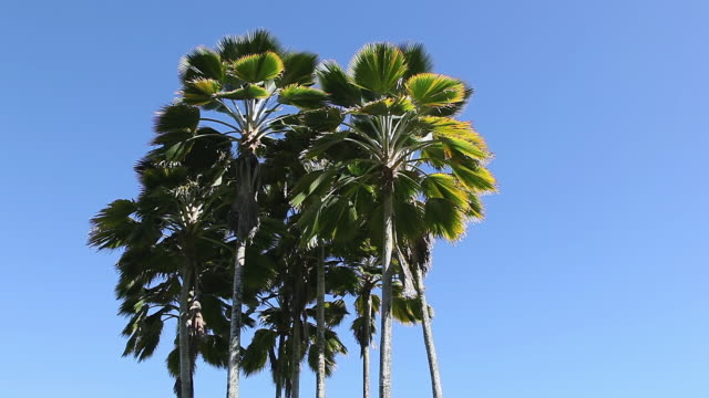 vídeos y material grabado en eventos de stock de ms fiji fan palm trees waving by wind / hilo, big island,hawaii, united states - fan palm tree