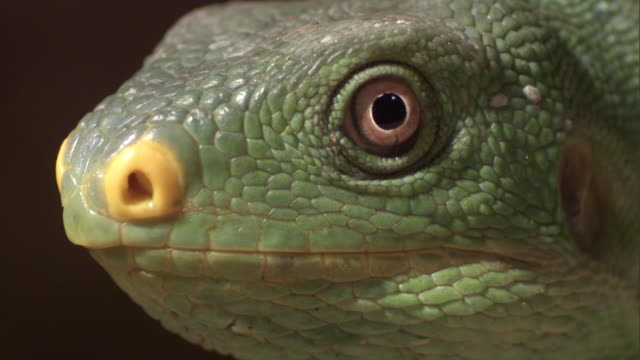 fijian crested iguana (brachylophus vitiensis) looks around, fiji - iguana stock videos & royalty-free footage