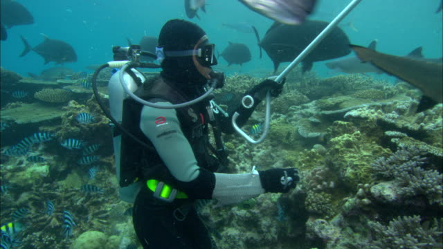fijian diver feeds whitetip reef sharks, fiji, south pacific  - oceanic white tip shark stock videos & royalty-free footage