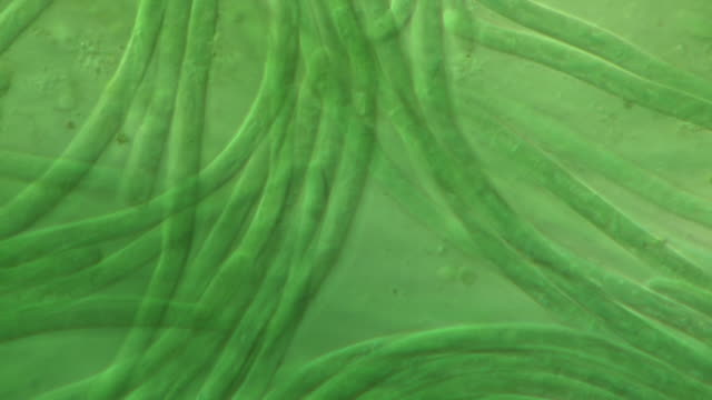 filamentous cyanobacteria (oscillatoria animalis). differential interference contrast t/l cinemicrography. 1 fps - cianobatterio video stock e b–roll