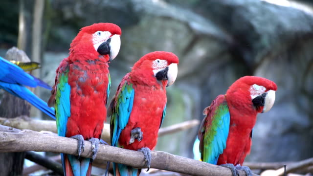 film 5 shot:pair of macaws perching on a branch - scarlet macaw stock videos and b-roll footage