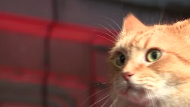 street cat named bob' premiere; england: london: curzon mayfair: ext / night james bowen with bob the cat on shoulders on red carpet / close shots... - premiär bildbanksvideor och videomaterial från bakom kulisserna