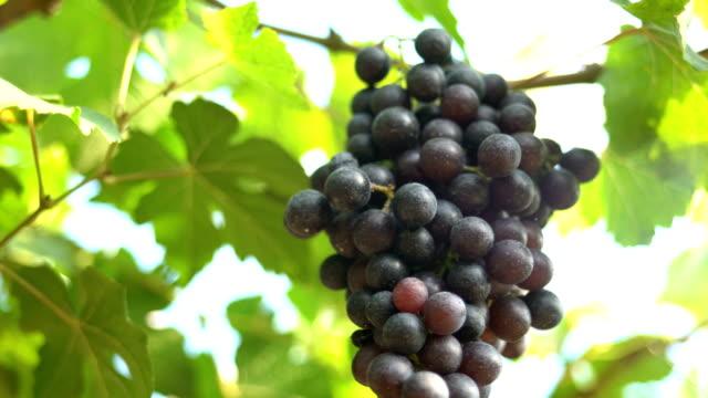 Film Tilt Down:Red grapes In Vineyard