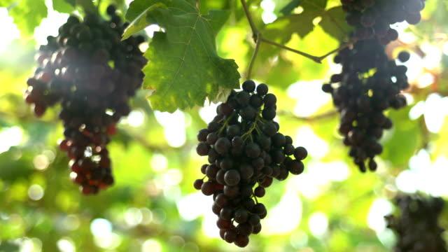 vídeos de stock e filmes b-roll de film tilt down:white grapes in vineyard - ramo parte de uma planta